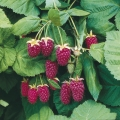 Loganberry (Thornless)